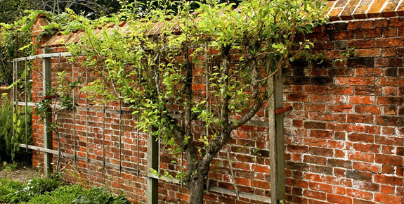 Espalier training for trees and shrubs can be fruitful and creative