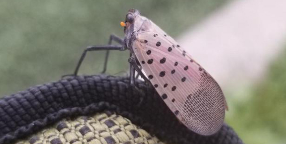 New Invasive Insect – Spotted Lanternfly